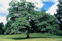 TT18-014b  Oak - tree - Quercus spp.