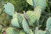 Mourning Dove (Zenaida macroura) on Prickly Pear Cactus in Phoenix area, Ariz.  March.