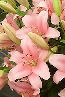 Lilium 'Brindisi' (LA hybrid)