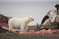 Polar bear attracted to a Bowhead Whale Carcass, deposited on the beach by the Inupiat village of Kaktovik, Barter Island, Arctic, Alaska.