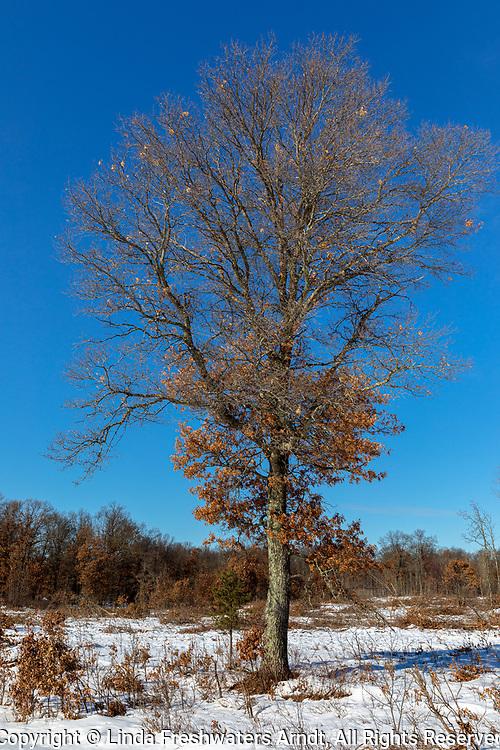 Oak tree in the Crex Meadows wildlife area.