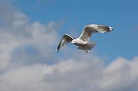 Sturmmöwe, im Flug, Flugbild, fliegend, Sturm-Möwe, Möwe, Sturmmöve, Larus canus, common gull