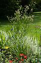 Briza maxima (Greater quaking grass), Vann House and Garden, Surrey, mid June.