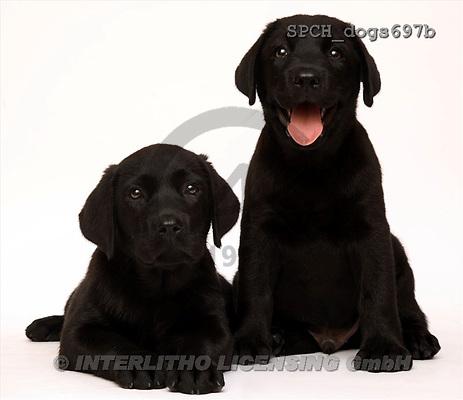 Xavier, ANIMALS, dogs, photos(SPCHdogs697b,#A#) Hunde, perros