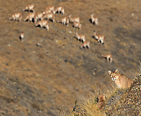A puma family rests on a hillside in southern Chile.