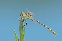 333920005 a wild male brimstone clubtail dragonfly stylurus intricatus perches on an arroweed plant near el centro in imperial county california united states