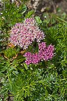 Alpen-Mutterwurz, Alpenmutterwurz, Gamskraut, Bärenfenchel, Ligusticum mutellina, Alpine Lovage