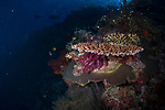 Hard and soft corals, Tubbataha, PHP