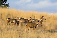 Mule Deer (Odocoileus hemionus).  Western U.S., Fall.