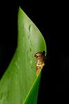 Red-eyed Tree Frog (Agalychnis callidryas) metamorph at night, Osa Peninsula, Costa Rica