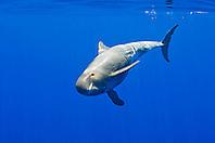 pygmy killer whale, Feresa attenuata, off Kona Coast, Big Island, Hawaii, Pacific Ocean