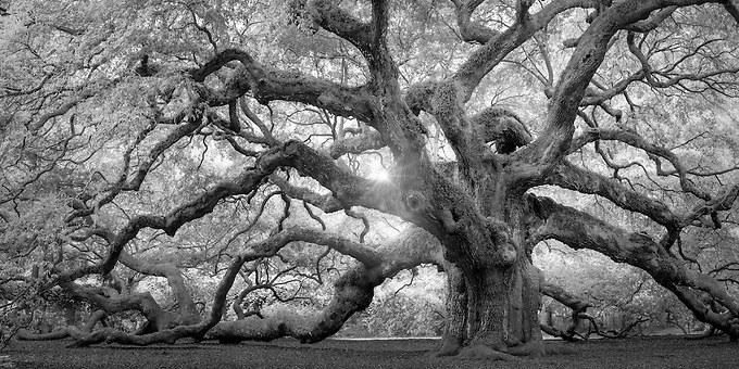 A monochrome rendition of this majestic southern live oak near Charleston, SC.