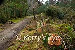 Trees that had fallen on the Old Kenmare road trail in Muckross