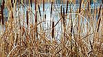 Cattails along shoreline of small urban lake in Federal Way Washington.  Frozen lake in winter.