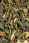 Leaves and buds of the plant Camilla Sinensis, picked when young then sun-dried and crushed to be sold as Chinese White Tea. The name derives from the fine white hairs of the plant's unopened buds which gives it a pale appearance and the infusion its distinctive quality. The image covers an area of 30mm x 20mm.