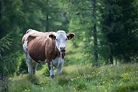 Kuh, Rind auf der Alm, Almwiese, Bergwald, Alpen, Beweidung, Weidewirtschaft, Almwirtschaft, alpine pasture, mountain pastures, mountain pasture, Kärnten, Österreich, Austria, alp, alps