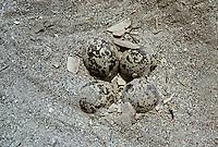 Spornkiebitz, Sporn-Kiebitz, Nest, Gelege mit Eiern, Eier, Ei, Hoplopterus spinosus, spur-winged plover