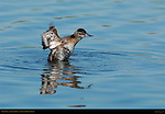 Ruddy Duck, Juvenile Display, Sepulveda Wildlife Refuge, Southern California
