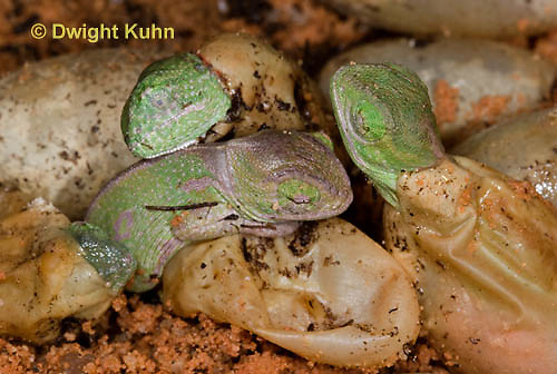 CH43-525z  Veiled Chameleon young hatching from eggs, Chamaeleo calyptratus