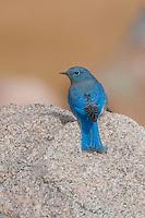 Mountain Bluebird, Rocky Mountain National Park, Colorado