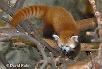 0313-1103  Red Panda, Ailurus fulgens  © David Kuhn/Dwight Kuhn Photography