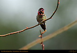 Anna's Hummingbird Male, Mating Color Display, Descanso Gardens, Southern California
