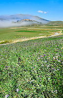 Lentils growing on the Piano Grande, Great Plain, of Castelluccio di Norcia, Parco Nazionale dei Monti Sibillini , Apennine Mountains,  Umbria, Italy.