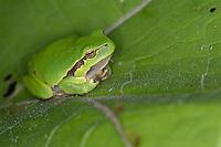 Europäischer Laubfrosch sonnt sich, Laub-Frosch, Frosch, Hyla arborea, European treefrog, common treefrog, Central European treefrog
