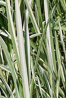 Iris ensata 'Variegata' foliage in summer