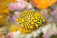 Pinecone fish, Monocentris japonica, Shikine-jima island, Tokyo, Japan, Pacific Ocean