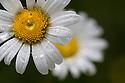 Ox-eye Daisy (Leucanthemum vulgare) Nordirol, Austrian Alps. June.