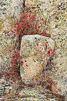 Lichen covered granite and groundcover foliage,