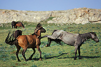 Two wild horse stallions fight over dominance.  Kicking and biting are two common method used in these displays.  Western U.S., summer..(Equus caballus)