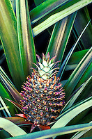 Close-up of pineapple plant still in the field, Haiku, Island of Maui