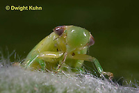 SP08-653z  Meadow Spittlebug nymph, close-up of face and beak,  Philaenus spumarius