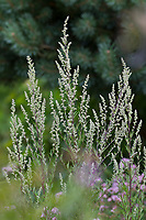 Beifuß, Gewöhnlicher Beifuß, Beifuss, Artemisia vulgaris, Mugwort, common wormwood, wild wormwood, wormwood. L'Armoise commune, L'Armoise citronnelle
