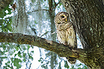 Damon, Texas; a juvenile barred owl sitting on a tree branch at dusk