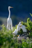 Great Egret nests. Lake County, Oregon. July.