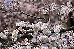 Cherry blossoms are in full bloom at Chidorigafuchi on April 1, 2016, Tokyo, Japan. On Thursday, the Japan Meteorological Agency announced that Tokyo's cherry trees were in full bloom, three days earlier than usual, but two days later than last year. Chidorigafuchi is one of the most popular spots during this season, where thousands of visitors come to see the cherry blossom trees that line the Imperial Palace moat. (Photo by Rodrigo Reyes Marin/AFLO)