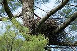 Raven's nest, Adirondack League Club.