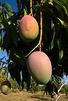 Cuba, Mango-Baum bei Cienfuegos