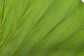 Curitiba, Parana State, Brazil. Botanic Gardens - Jardim Botanico. Leaf with veins.
