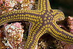 Sea of Cortez, Baja California, Mexico; a yellow and purple Pyramid Sea Star (Pharia Pyramidata) sitting on the colorful rocky reef