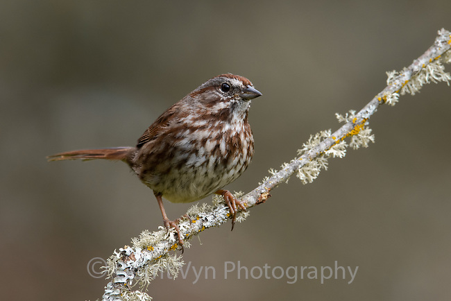 Song Sparrow (Melospiza melodia). Multnomah County, Oregon. March.