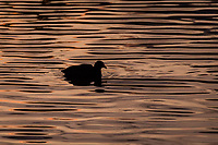 In a moment of peace and quiet an American coot floats in a pool of golden, rippling, sunset light.
