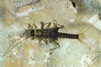 Steinfliege, Uferfliege, Kurzflügel-Uferfliege, Larve, Nymphe, Brachyptera risi, Stonefly, larva, larvae, Plecoptera