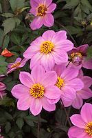 Dahlia (Happy Single Series) 'Juliet'. single pink type.