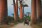 Ox Cart at Baobab Alle or Avenue with ox carts. Grandidier's Baobabs (Adansonia grandidieri). Near Morondava, western Madagascar.