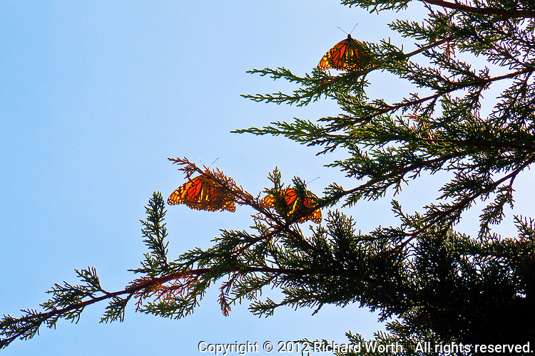 Three monarch butterflies perched on the branches of a Montery cypress in Lighthouse Field State Park, Santa Cruz, California, their backlit wings resembling delicate stained glass works of art.