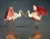 Roseatte Spoonbills at Ding Darling National Wildlife Refuge, FL..